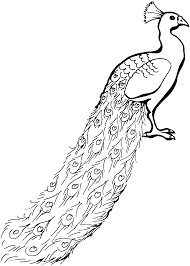 peacock coloring page clip art library