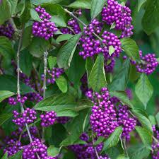 joe swift get some berries in your winter garden weekend the