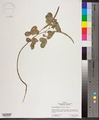 senna obtusifolia species page apa alabama plant atlas this specimen has a photo