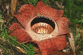 largest flower in the world borneo rafflesia the largest flower in the world travel world
