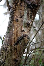 102 best tree faces images on tree faces nature and