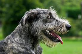 afghan hound good and bad irish wolfhound dog breed information pictures characteristics