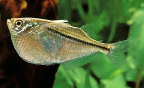 Aquascape Fish How To Choose Freshwater Aquascaping Fish Species U2013 Beginners U0027 Guide