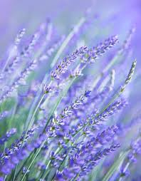 lavender flowers lavender flower field fresh purple aromatic wildflower