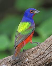 painted buntings u2013 nature u0027s color wheels tallahassee com