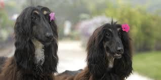 afghan hound national dog show peace love and afghan hounds revodana publishing revodana