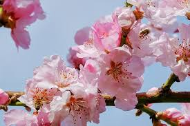 cherry blossom images pixabay free pictures