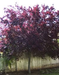 cherry tree with purple leaves with purple fruits furniture
