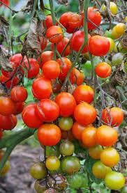 Tomato Plant Wilt Disease - common diseases of tomato pepper eggplant and potato