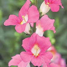 snapdragon flowers snapdragon seeds 35 snapdragons annual flower seeds s g s
