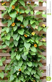 climbing vine trellis stock photo image 11038280
