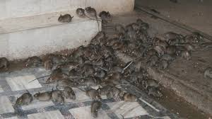 how to get rid of mice naturally permanently in all natural way