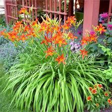 Summer Gardening - hemerocallis sammy russell daylily red summer gardening root plant