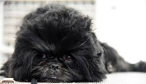 affenpinscher breeders canada 15 toy dog breeds that will make you want a little dog cutest