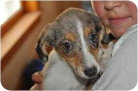 australian shepherd utah rescue shasta adopted puppy slc ut australian shepherd toy fox