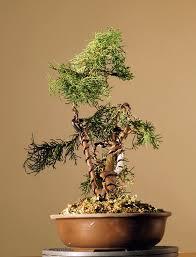bonsai saule pleureur un genévrier histoires de bonsaï
