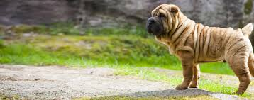 chinese shar pei dog breed health history appearance