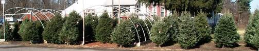 douglas fir christmas tree christmas trees fresh cut wreaths locally crafted by more