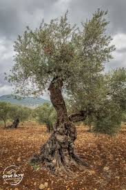 154 best olive trees images on pinterest olives olive tree and