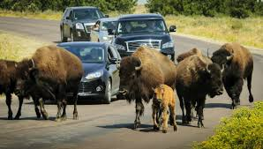 South Dakota wildlife tours images Wildlife loop scenic drives activities custer state park resort jpg