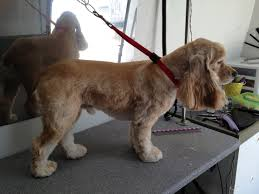 breed profile american cocker spaniel charmed paws mobile pet spa