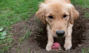 Can You Bury Animals In Your Backyard Why Dogs Bury Things Care2 Healthy Living
