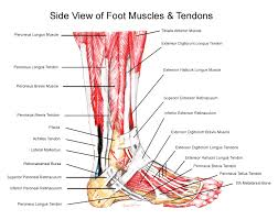 Talus Ligaments Muscles Tendons U0026 Ligaments Of The Foot U0026 Ankle Foot Anatomy