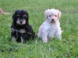 australian shepherd and poodle australian shepherds puppies for sale hypoallergenic