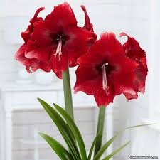 amaryllis flowers amaryllis hippeastrum american