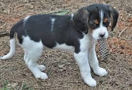australian shepherd beagle mix maddie the beagle mix puppies daily puppy