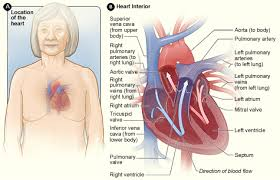 Pictures Of The Anatomy Of The Human Body Anatomy Of The Heart Nhlbi Nih