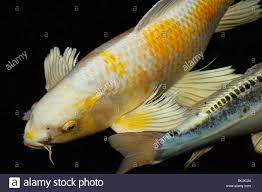 Home Blue Fish White And Yellow Yamabuki Hariwake Butterfly Koi Fish In Home Pond