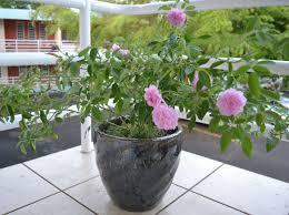 over wintering roses in vietnam ceramic planters vietnam outdoor