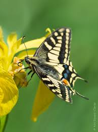Iris Flag Of Yellow Flags And Swallowtails U2014 Kiri