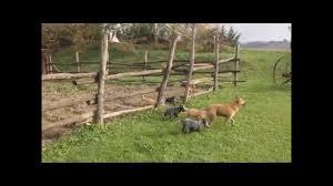 australian shepherd e cavalli acd passion i cuccioli del ranch ricavo youtube