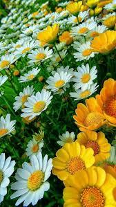 363 best my favorite flower daisy u0027s images on pinterest daisy