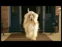 afghan hound good and bad afghan hound beautiful youtube
