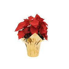 is home depot selling poinsettias on black friday shop 1 quart poinsettia pot l22289 at lowes com