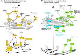 signalling to and from the secretory pathway journal of cell science