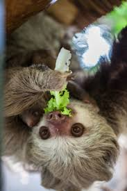 4 toed sloth lincoln park zoo says they are hooked on new sloth zooborns