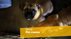 boxer dog adoption los angeles animal lovers to the rescue for unwanted pets la times
