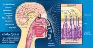 Blood Brain Barrier Anatomy Getting Through The Blood Brain Barrier Natural Health By Karen