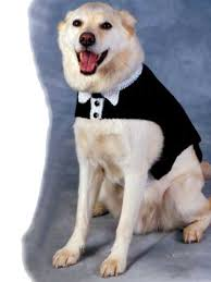 free knit tuxedo and tails dog sweater for that special occasion