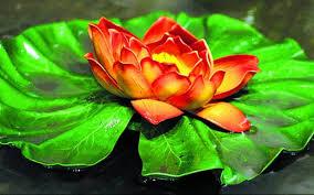 Lotus Flower In Muddy Water - lotus u2013 the national flower of india tamil nadu the hindu