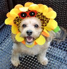 halloween costumes for yorkies dogs sunflower yourdesignerdog