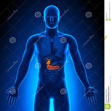 Anatomy Pancreas Human Body Medical Imaging Male Organs Gallbladder Pancreas Stock