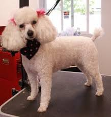 different toy poodle cuts care and tips