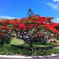ornamental trees daleys top ten