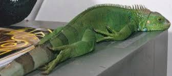 henry lizardlover u0027s iguana behavior body language
