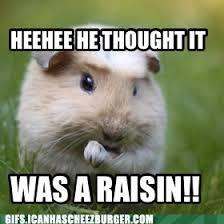 Guinea Pig Meme - cheeky guinea pig animal capshunz funny animals animal captions